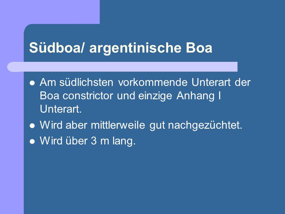 Südboa/ argentinische Boa Am südlichsten vorkommende Unterart der Boa constrictor und einzige Anhang I Unterart. Wird aber mittlerweile gut nachgezüch