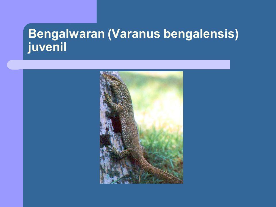 Bengalwaran (Varanus bengalensis) juvenil