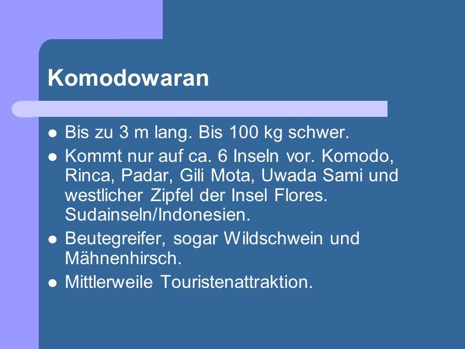 Komodowaran Bis zu 3 m lang. Bis 100 kg schwer. Kommt nur auf ca. 6 Inseln vor. Komodo, Rinca, Padar, Gili Mota, Uwada Sami und westlicher Zipfel der