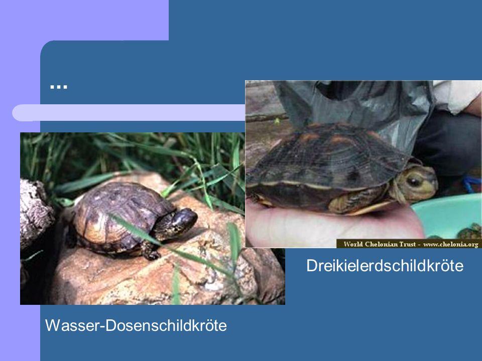 ... Wasser-Dosenschildkröte Dreikielerdschildkröte