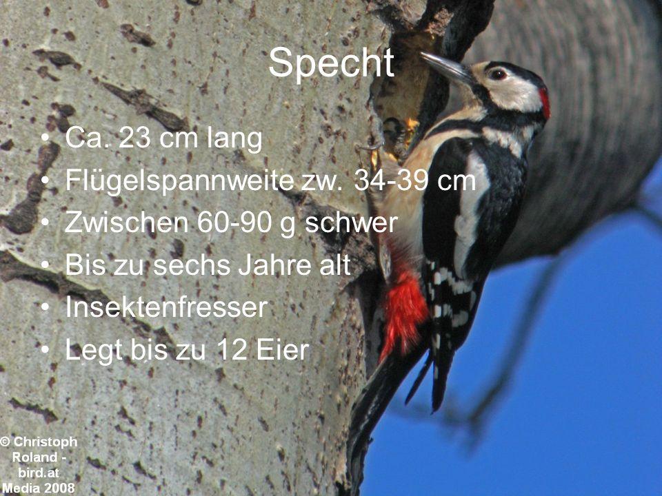 Specht Ca. 23 cm lang Flügelspannweite zw. 34-39 cm Zwischen 60-90 g schwer Bis zu sechs Jahre alt Insektenfresser Legt bis zu 12 Eier