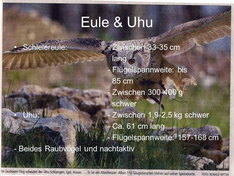 Eule & Uhu Schleiereule:- Zwischen 33-35 cm lang - Flügelspannweite: bis 85 cm - Zwischen 300-400 g schwer Uhu:- Zwischen 1,9-2,5 kg schwer - Ca. 61 c