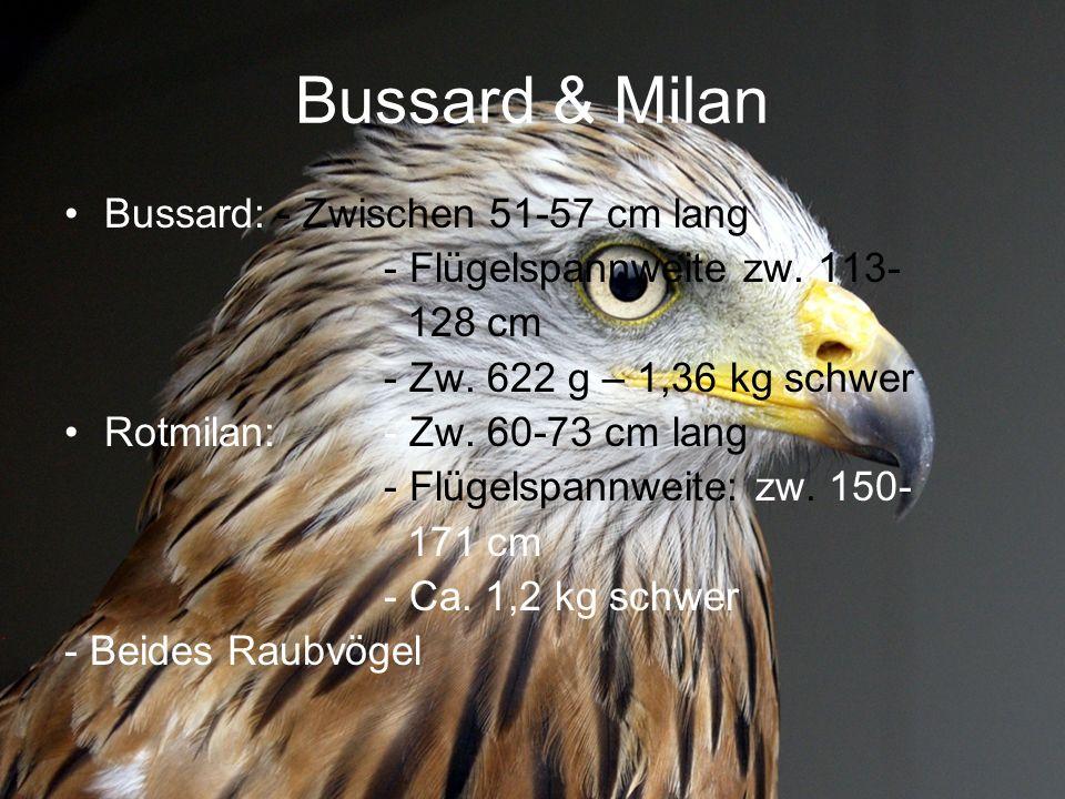 Bussard & Milan Bussard:- Zwischen 51-57 cm lang - Flügelspannweite zw. 113- 128 cm - Zw. 622 g – 1,36 kg schwer Rotmilan:- Zw. 60-73 cm lang - Flügel