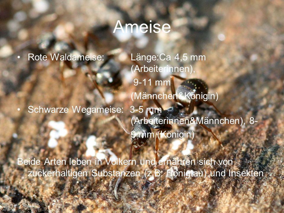 Ameise Rote Waldameise: Länge:Ca 4,5 mm (Arbeiterinnen), 9-11 mm (Männchen&Königin) Schwarze Wegameise: 3-5 mm (Arbeiterinnen&Männchen), 8- 9 mm (Köni
