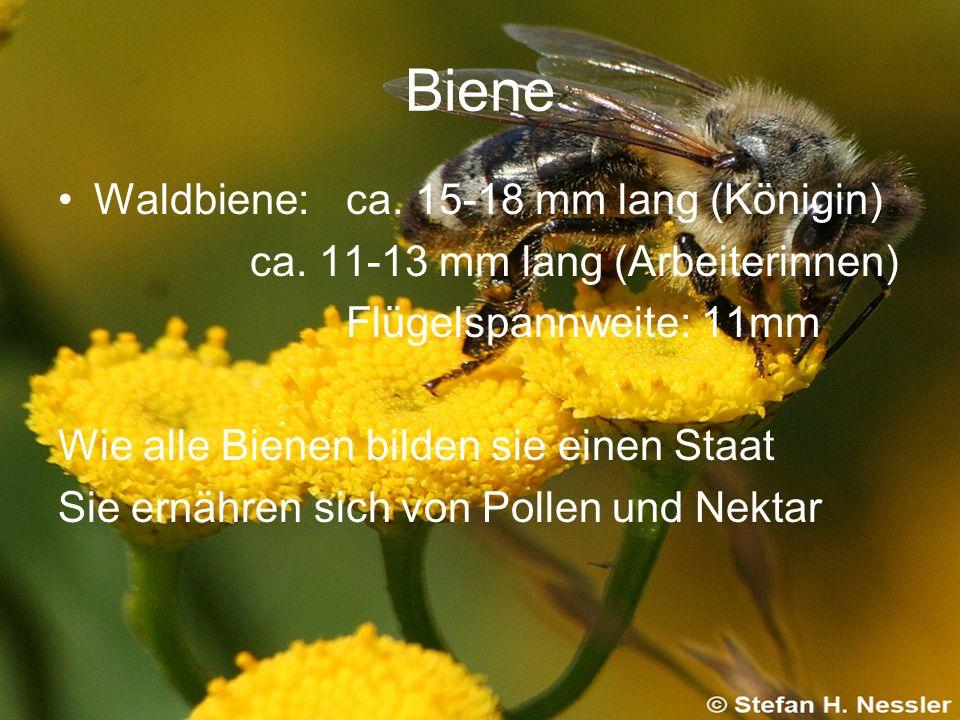 Biene Waldbiene:ca. 15-18 mm lang (Königin) ca. 11-13 mm lang (Arbeiterinnen) Flügelspannweite: 11mm Wie alle Bienen bilden sie einen Staat Sie ernähr