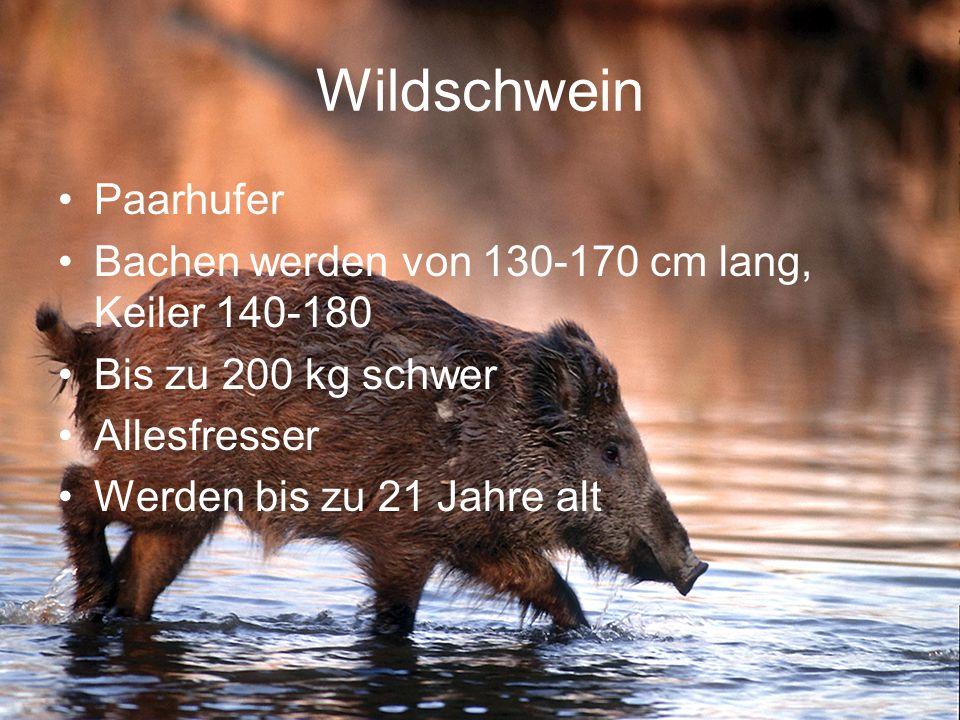 Wildschwein Paarhufer Bachen werden von 130-170 cm lang, Keiler 140-180 Bis zu 200 kg schwer Allesfresser Werden bis zu 21 Jahre alt