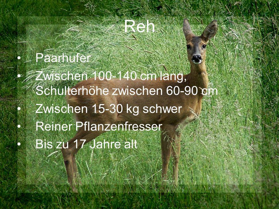 Reh Paarhufer Zwischen 100-140 cm lang, Schulterhöhe zwischen 60-90 cm Zwischen 15-30 kg schwer Reiner Pflanzenfresser Bis zu 17 Jahre alt