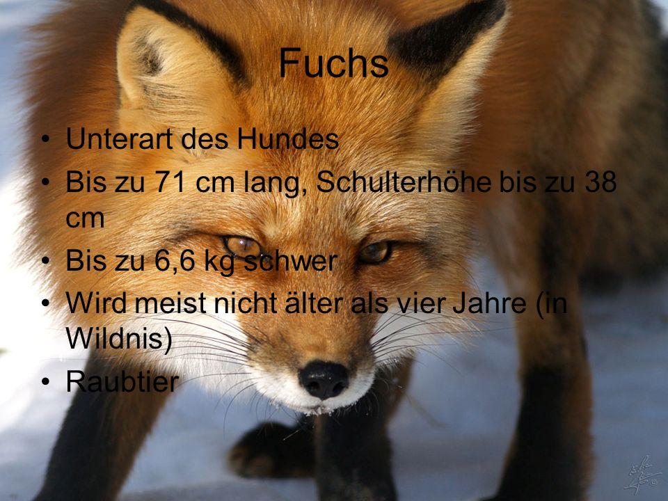 Fuchs Unterart des Hundes Bis zu 71 cm lang, Schulterhöhe bis zu 38 cm Bis zu 6,6 kg schwer Wird meist nicht älter als vier Jahre (in Wildnis) Raubtie