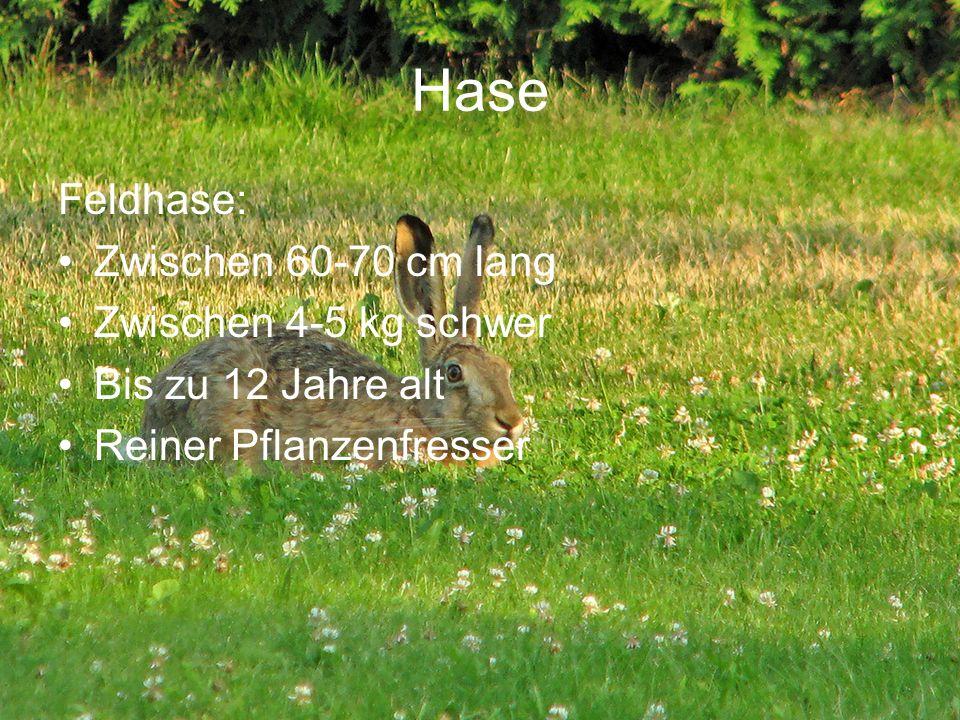 Hase Feldhase: Zwischen 60-70 cm lang Zwischen 4-5 kg schwer Bis zu 12 Jahre alt Reiner Pflanzenfresser