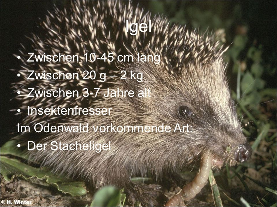 Igel Zwischen 10-45 cm lang Zwischen 20 g – 2 kg Zwischen 3-7 Jahre alt Insektenfresser Im Odenwald vorkommende Art: Der Stacheligel