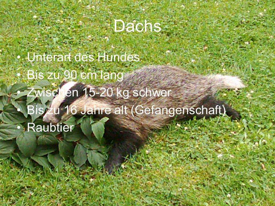 Dachs Unterart des Hundes Bis zu 90 cm lang Zwischen 15-20 kg schwer Bis zu 16 Jahre alt (Gefangenschaft) Raubtier