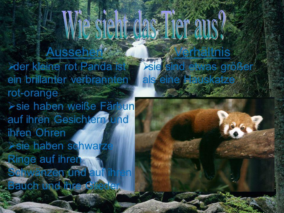 Herkunft der kleine rot Panda kommt aus dem nord- östlichen Teil von Nepal Sie auch aus China vor allem in den südlichen Teilen des Landes kommen