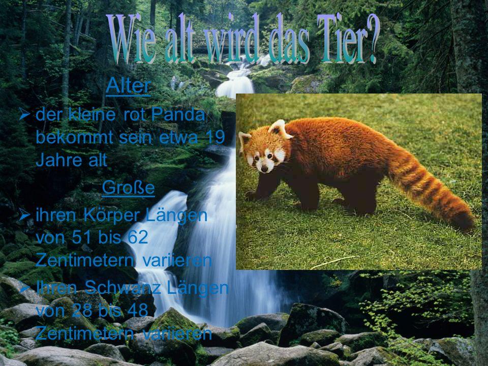 Alter der kleine rot Panda bekommt sein etwa 19 Jahre alt Große ihren Körper Längen von 51 bis 62 Zentimetern variieren Ihren Schwanz Längen von 28 bis 48 Zentimetern variieren