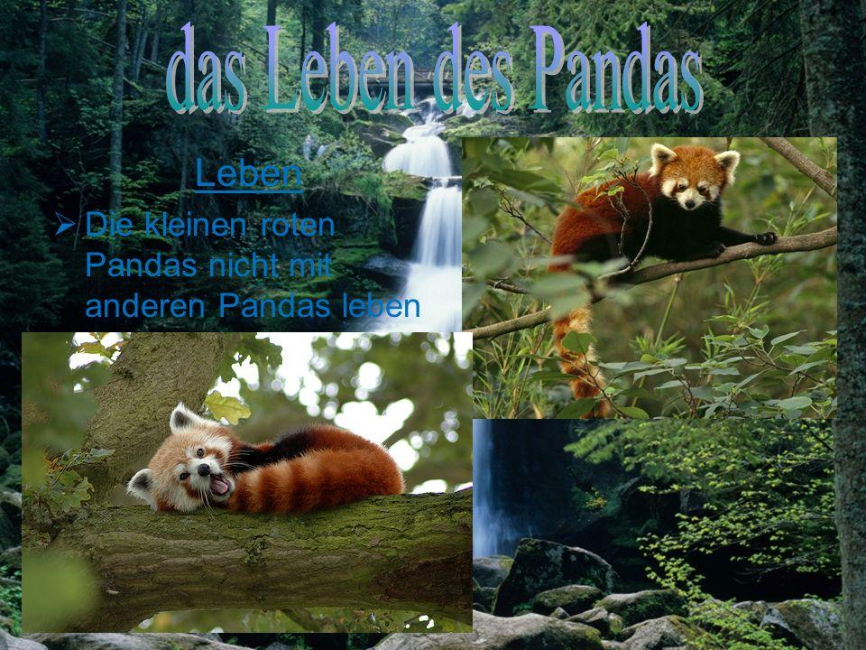 Alter der kleine rot Panda bekommt sein etwa 19 Jahre alt Große ihren Körper Längen von 51 bis 62 Zentimetern variieren Ihren Schwanz Längen von 28 bi
