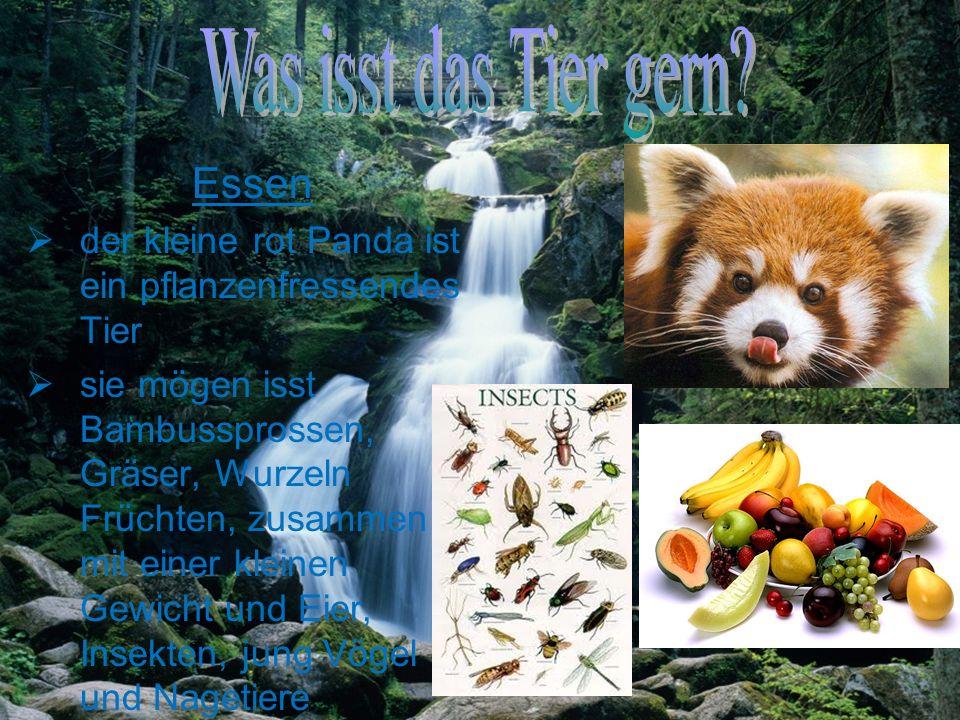 Essen der kleine rot Panda ist ein pflanzenfressendes Tier sie mögen isst Bambussprossen, Gräser, Wurzeln Früchten, zusammen mit einer kleinen Gewicht und Eier, Insekten, jung Vögel und Nagetiere