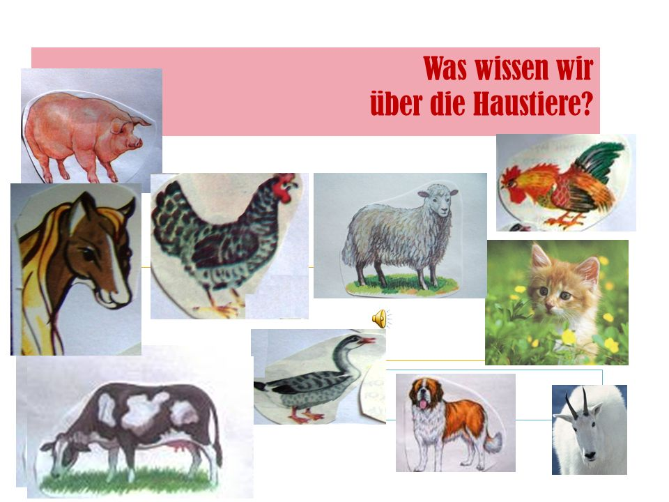 Wer gehört zu den Haustieren? - die Kuh - das Zebra - der Bär - der Tiger - die Ziege - der Hahn