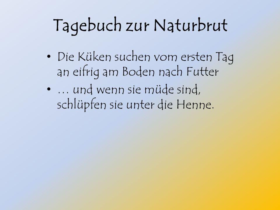 Tagebuch zur Naturbrut Die Küken suchen vom ersten Tag an eifrig am Boden nach Futter … und wenn sie müde sind, schlüpfen sie unter die Henne.