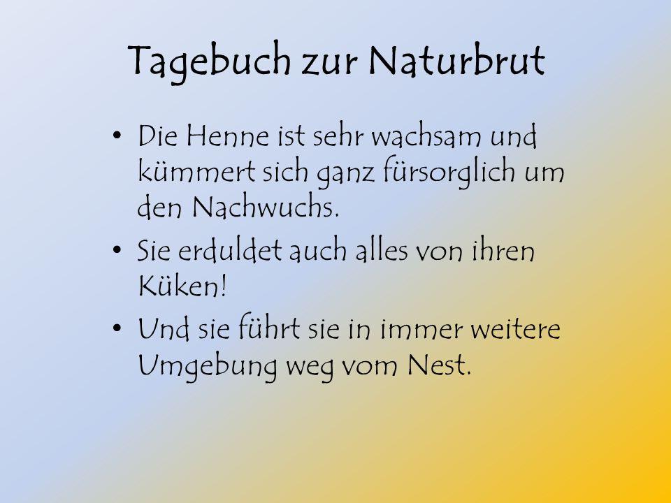 Tagebuch zur Naturbrut Die Henne ist sehr wachsam und kümmert sich ganz fürsorglich um den Nachwuchs.