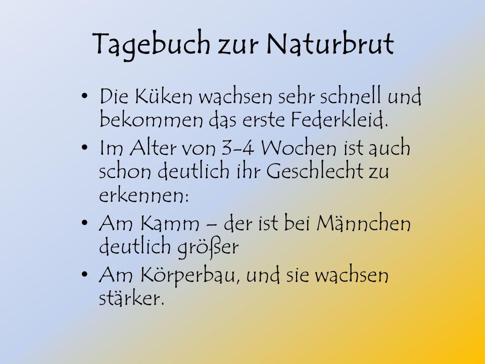Tagebuch zur Naturbrut Die Küken wachsen sehr schnell und bekommen das erste Federkleid.