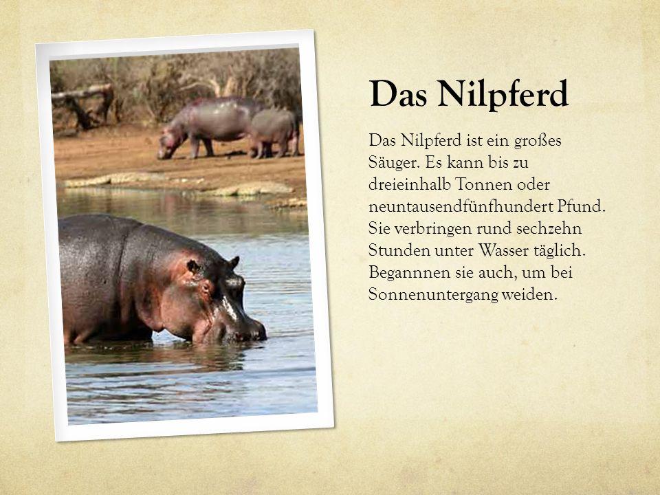 Das Nilpferd Das Nilpferd ist ein großes Säuger. Es kann bis zu dreieinhalb Tonnen oder neuntausendfünfhundert Pfund. Sie verbringen rund sechzehn Stu