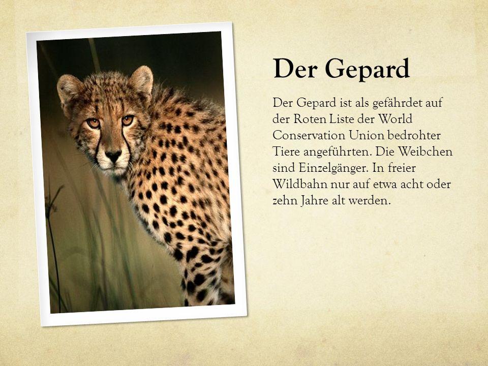 Der Gepard Der Gepard ist als gefährdet auf der Roten Liste der World Conservation Union bedrohter Tiere angeführten. Die Weibchen sind Einzelgänger.