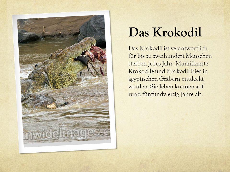 Das Krokodil Das Krokodil ist verantwortlich für bis zu zweihundert Menschen sterben jedes Jahr. Mumifizierte Krokodile und Krokodil Eier in ägyptisch