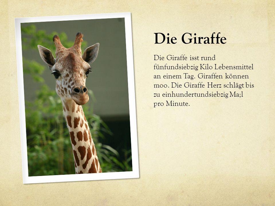 Die Giraffe Die Giraffe isst rund fünfundsiebzig Kilo Lebensmittel an einem Tag. Giraffen können moo. Die Giraffe Herz schlägt bis zu einhundertundsie