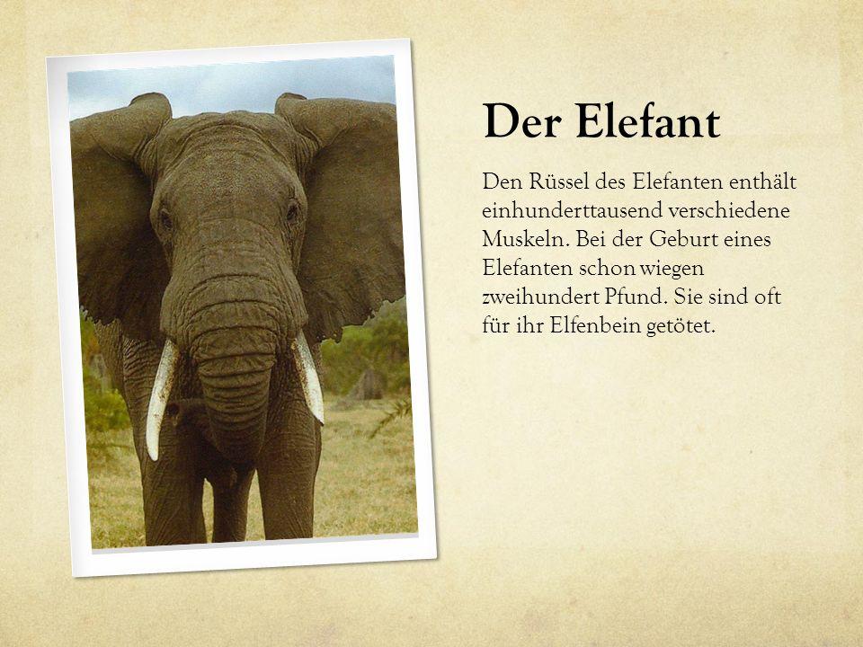 Der Elefant Den Rüssel des Elefanten enthält einhunderttausend verschiedene Muskeln. Bei der Geburt eines Elefanten schon wiegen zweihundert Pfund. Si
