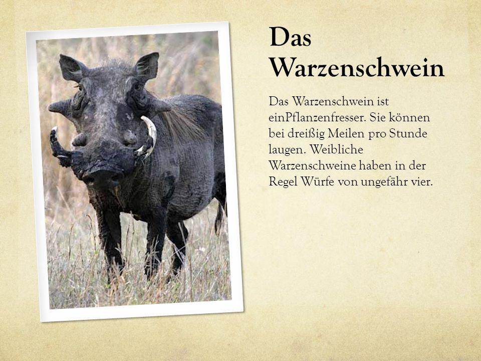 Das Warzenschwein Das Warzenschwein ist einPflanzenfresser. Sie können bei dreißig Meilen pro Stunde laugen. Weibliche Warzenschweine haben in der Reg
