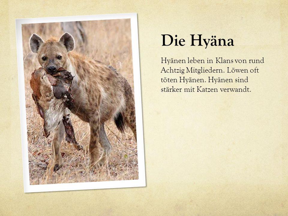 Die Hyäna Hyänen leben in Klans von rund Achtzig Mitgliedern. Löwen oft töten Hyänen. Hyänen sind stärker mit Katzen verwandt.