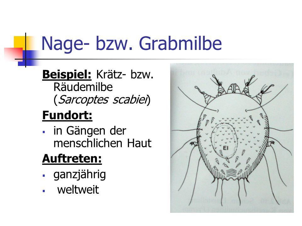 Nage- bzw. Grabmilbe Beispiel: Krätz- bzw. Räudemilbe (Sarcoptes scabiei) Fundort: in Gängen der menschlichen Haut Auftreten: ganzjährig weltweit