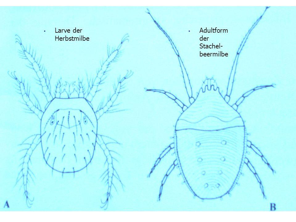 Hühnermilbe Biologie und Merkmale: Weibchen legt etwa 40 Eier, innerhalb 4-10 Tagen entwickeln sich die Larven zum adulten Tier Lebenserwartung von 2-3 Monaten überleben Hungerzeit von bis zu 6 Monaten