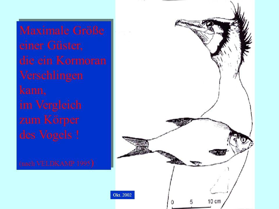 06.12.98H. Lensker Maximale Größe einer Güster, die ein Kormoran Verschlingen kann, im Vergleich zum Körper des Vogels ! (nach VELDKAMP 1995 ) Maximal