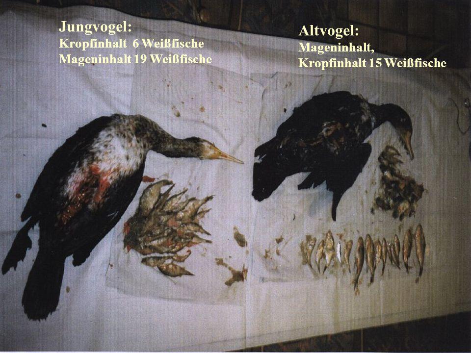 06.12.98H. Lensker Jungvogel: Kropfinhalt 6 Weißfische Mageninhalt 19 Weißfische Altvogel: Mageninhalt, Kropfinhalt 15 Weißfische