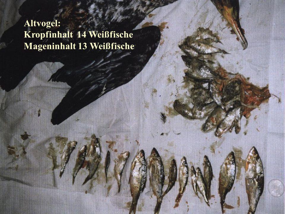 06.12.98H. Lensker Altvogel: Kropfinhalt 14 Weißfische Mageninhalt 13 Weißfische