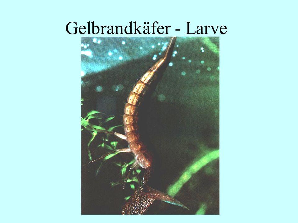 06.12.98H. Lensker Gelbrandkäfer - Larve
