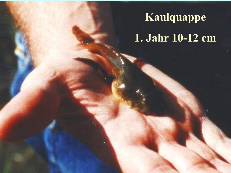 06.12.98H. Lensker Kaulquappe 1. Jahr 10-12 cm
