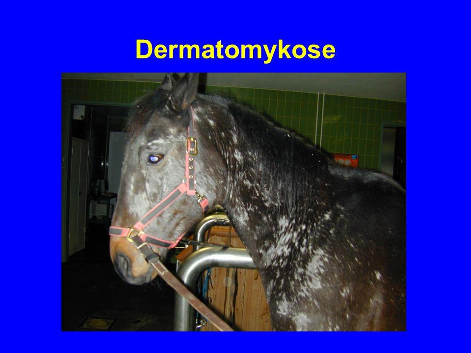 Dermatomykose Klinisches Bild: –Solitäre, schuppende, kreisrunde Läsionen mit Trichorrhexis Ätiologie: –Trichophyton equinum( 80%); Rinderstämme (20%)