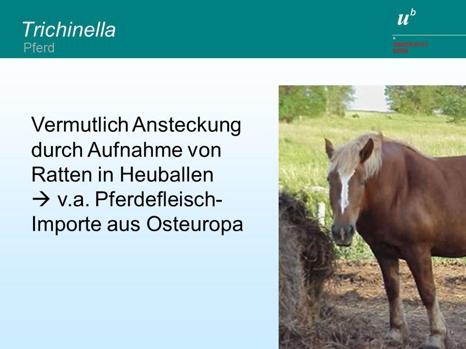ubub b UNIVERSITÄT BERN Trichinella Vermutlich Ansteckung durch Aufnahme von Ratten in Heuballen v.a. Pferdefleisch- Importe aus Osteuropa Pferd
