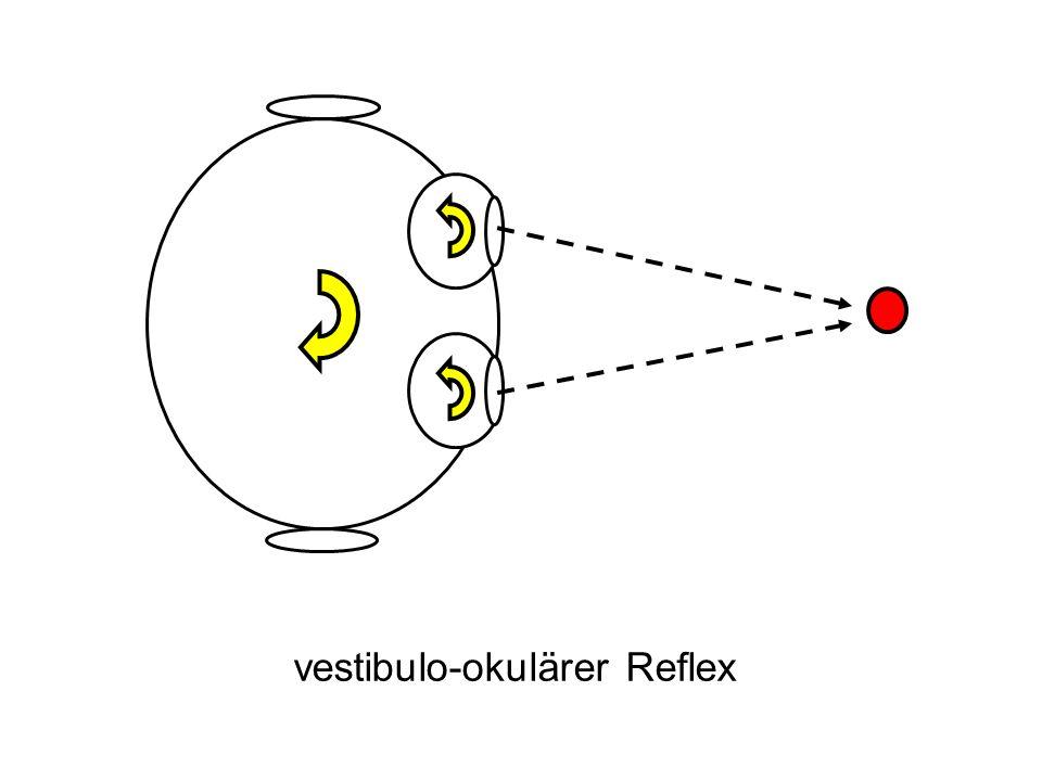 vestibulo-okulärer Reflex