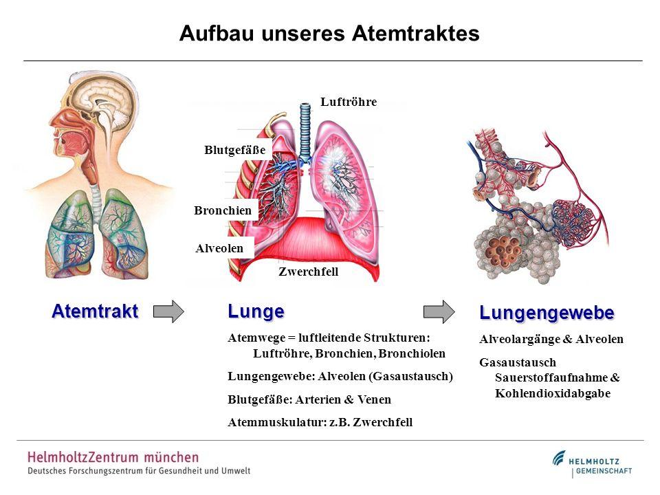Aufbau unseres Atemtraktes Atemtrakt Luftröhre Bronchien Blutgefäße Zwerchfell Lunge Atemwege = luftleitende Strukturen: Luftröhre, Bronchien, Bronchi