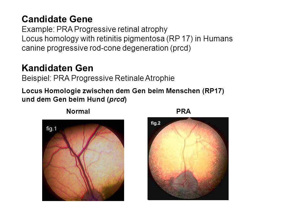 Candidate Gene Example: PRA Progressive retinal atrophy Locus homology with retinitis pigmentosa (RP 17) in Humans canine progressive rod-cone degener