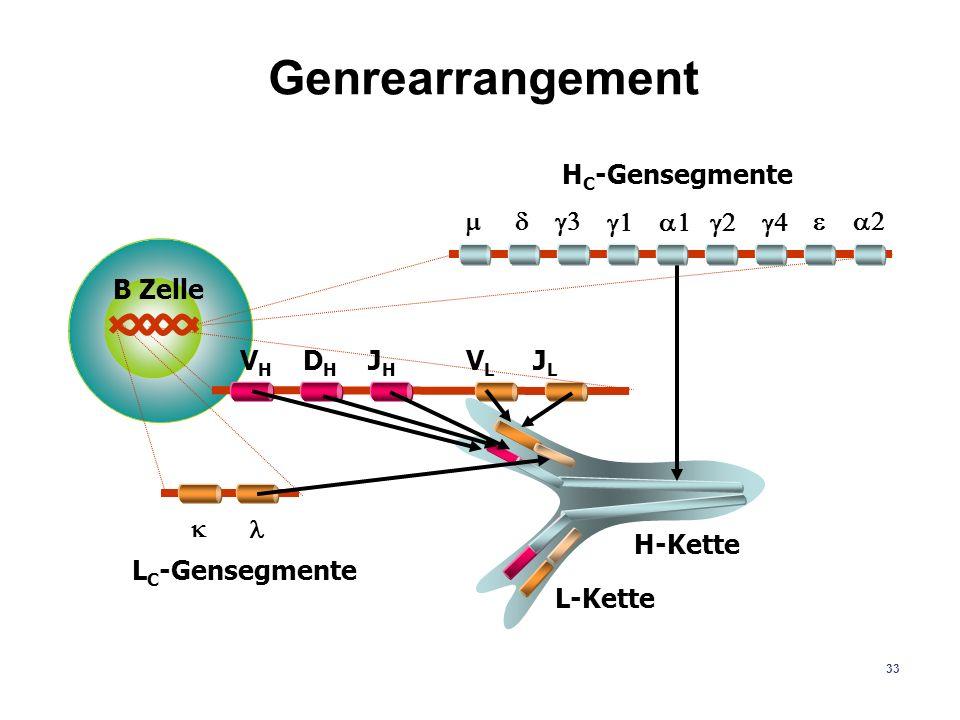 33 Genrearrangement H-Kette L-Kette B Zelle V H D H J H V L J L H C -Gensegmente L C -Gensegmente
