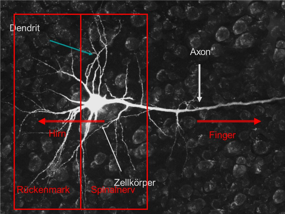 Dendrit Axon Zellkörper Finger Hirn Rückenmark Spinalnerv