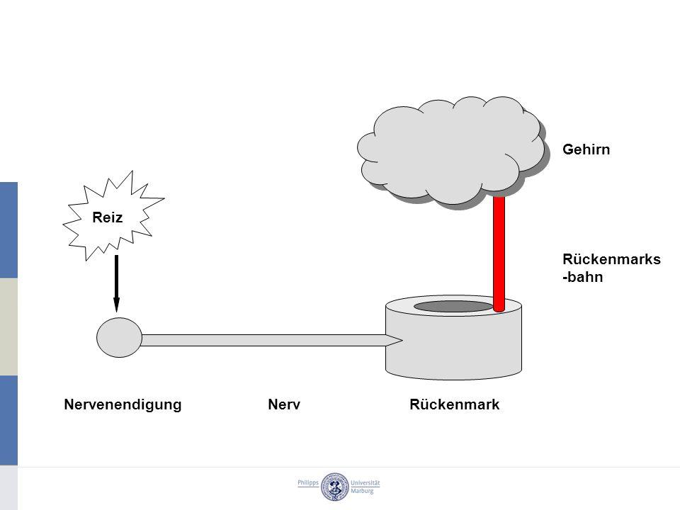 Gehirn RückenmarkNervenendigungNerv Rückenmarks -bahn Reiz