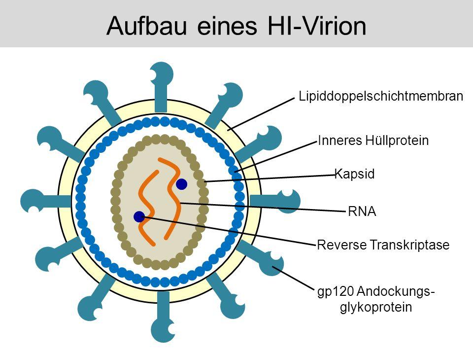 Reverse Transkriptase Lipiddoppelschichtmembran Inneres Hüllprotein Kapsid RNA gp120 Andockungs- glykoprotein Aufbau eines HI-Virion