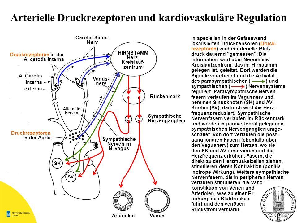 Arterielle Druckrezeptoren und kardiovaskuläre Regulation Druckrezeptoren in der A. carotis interna A. Carotis interna externa Druckrezeptoren in der