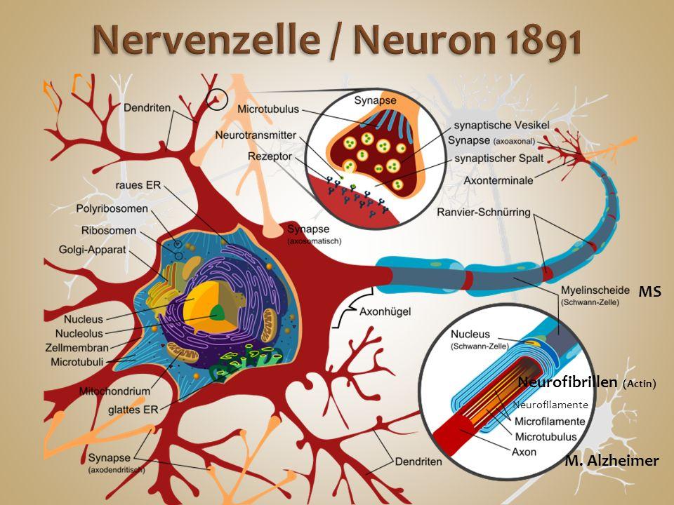 Neurofilamente Neurofibrillen (Actin) M. Alzheimer MS