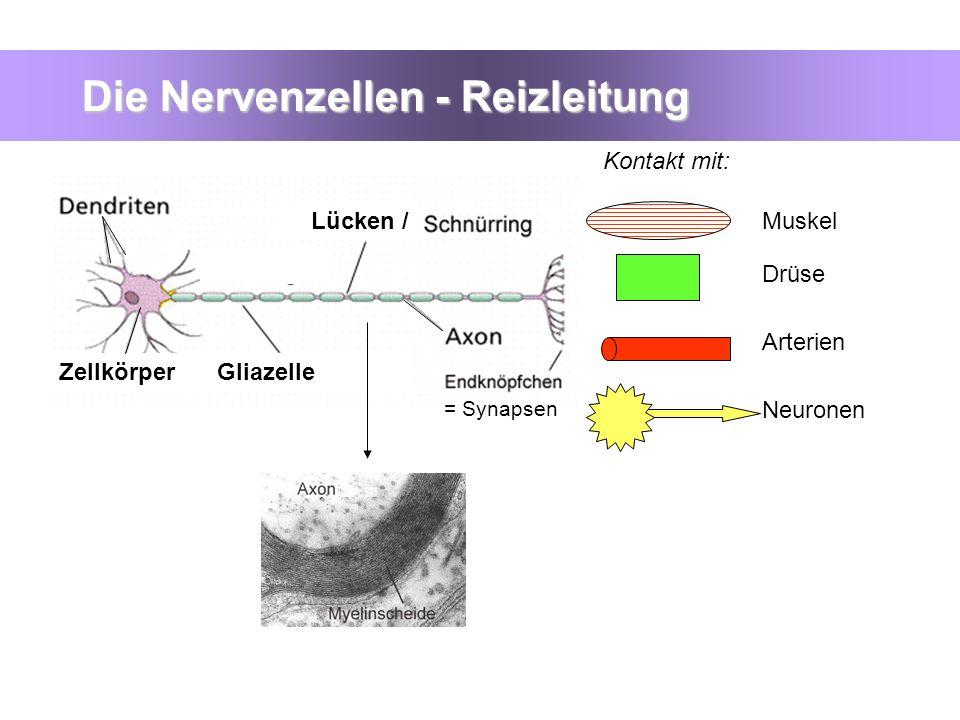 Die Nervenzellen - Reizleitung GliazelleZellkörper Lücken /Muskel Drüse Arterien Neuronen = Synapsen Kontakt mit: