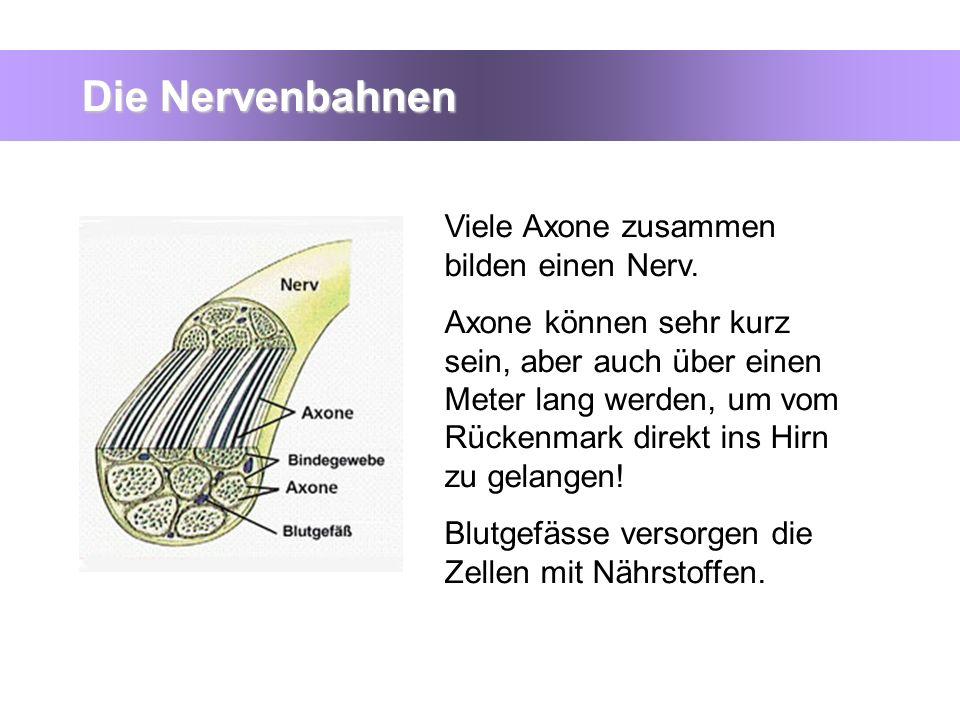 Die Nervenbahnen Viele Axone zusammen bilden einen Nerv. Axone können sehr kurz sein, aber auch über einen Meter lang werden, um vom Rückenmark direkt